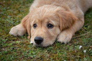 welpe-adoptieren-trotz-vollzeitjob-erwachsener-hund-tipps-vollzeit4beiner